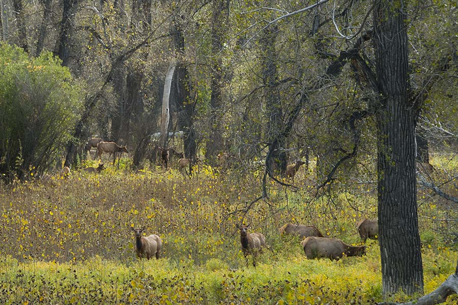 Elk in Rut at the Slipery Ann Elk Viewing Area at the Charles M Russell National Wildlife Refuge in Montana