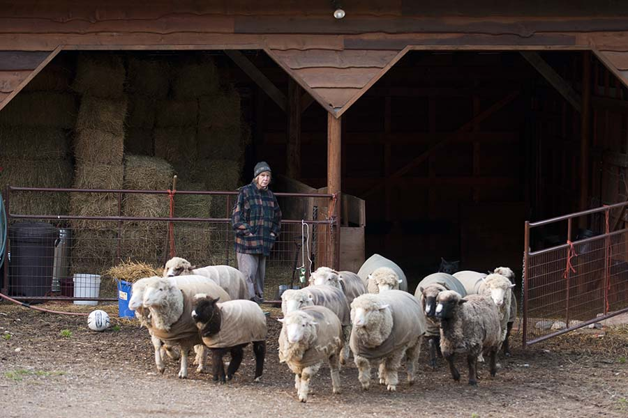 Diane letting the sheep out in the morning -  - Whitefish, MT