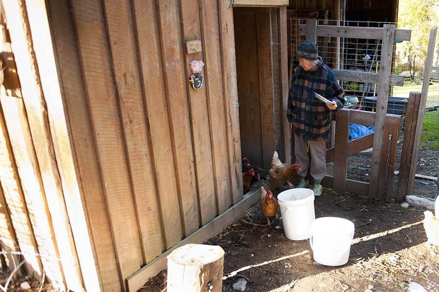 Diane feeding the chickens in the morning