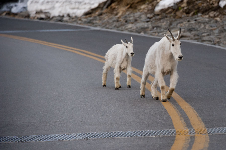 Glacier National Park - Mountain Goats, Going to the Sun Road, July 27, 2014
